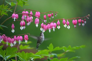 0063hummingbird at bleeding heart